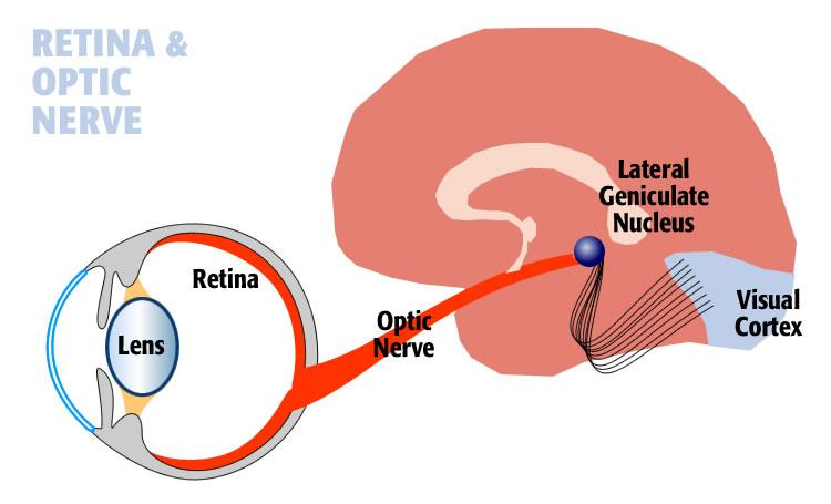 optic_nerve